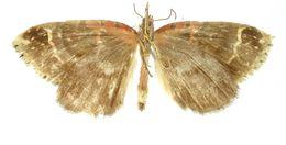 Image of <i>Cirrolygris cecilia</i> Dognin 1911