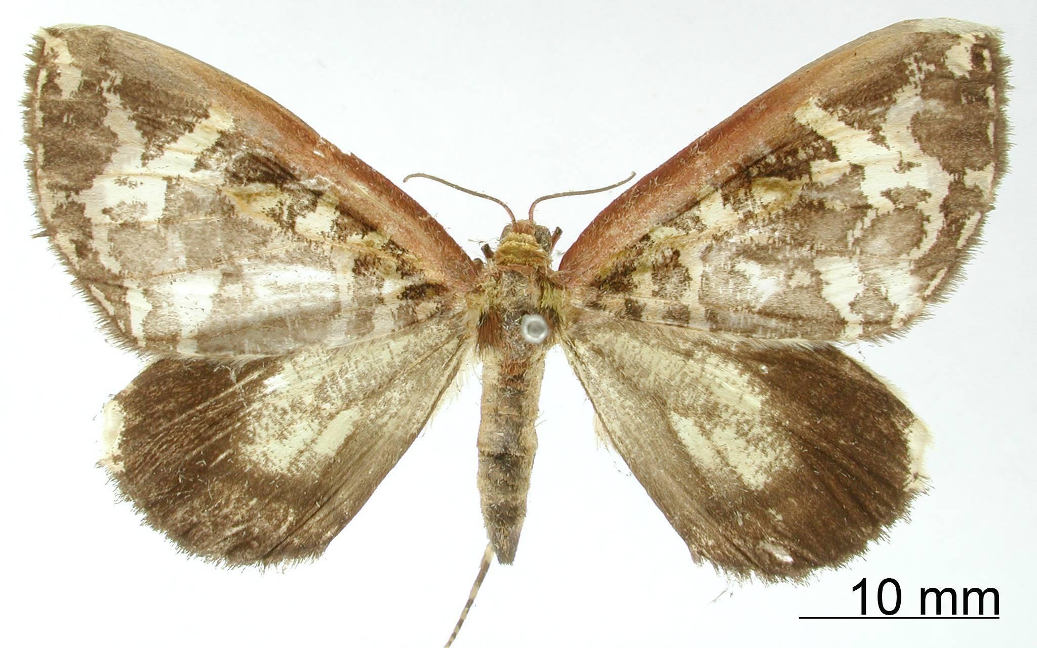 Image of <i>Erebochlora albida</i> Dognin