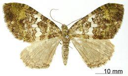 Image of <i>Erebochlora albisecta</i> Dognin