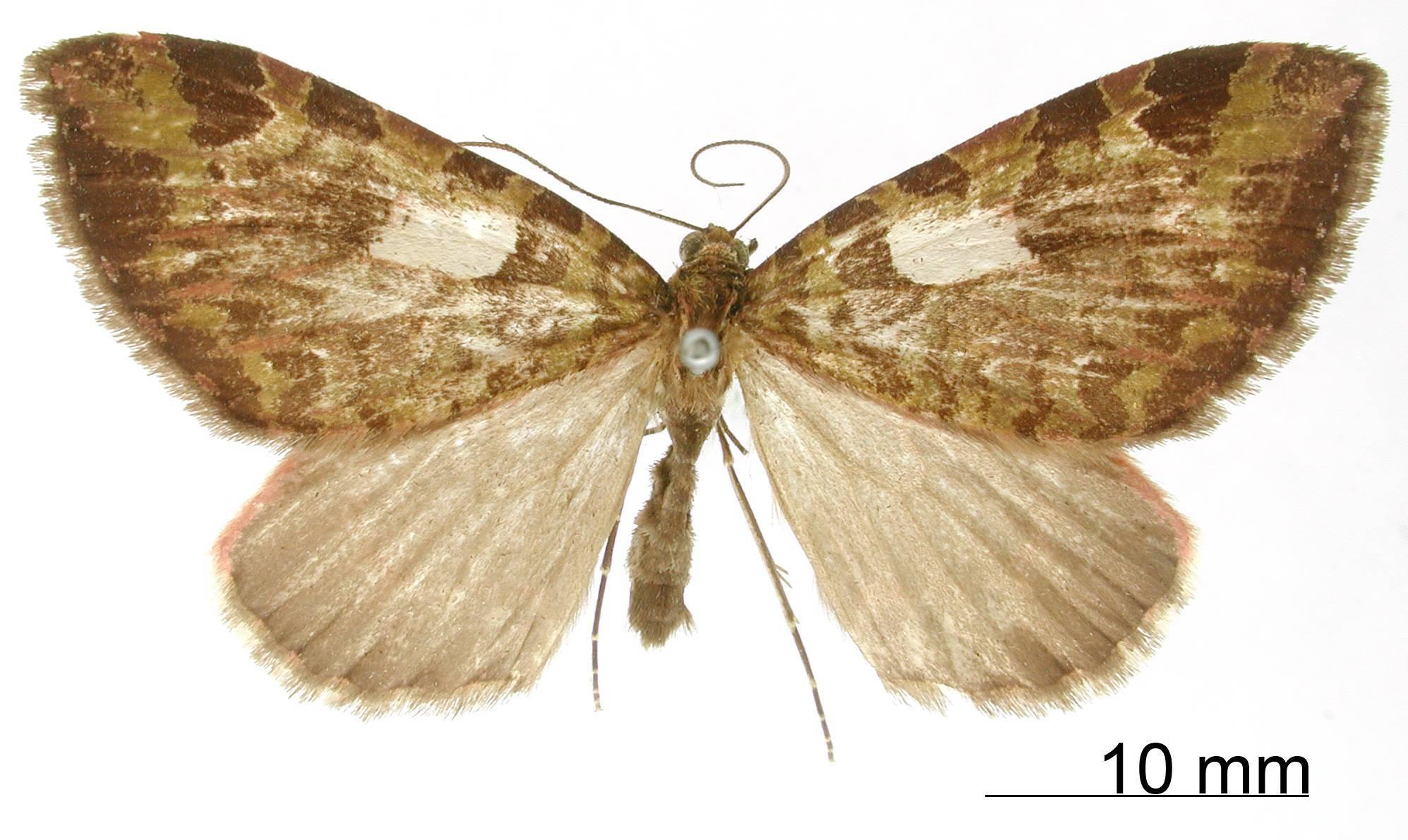 Image of <i>Erebochlora albocentrata</i> Thierry-Mieg 1907