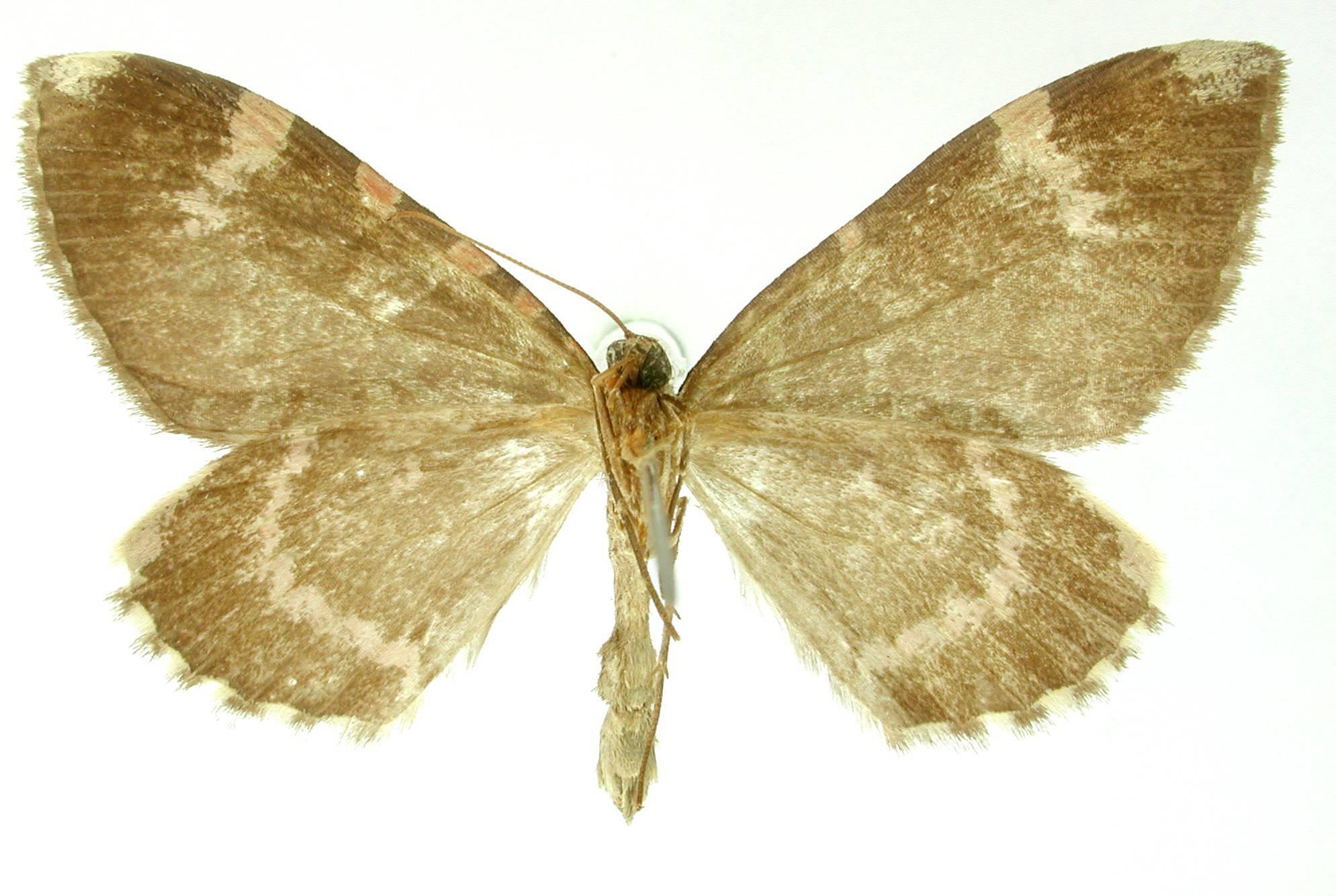 Image of <i>Erebochlora chamaeleonis</i> Schaus 1901