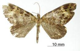 Image of <i>Erebochlora decolor</i> Dognin