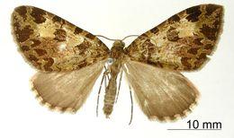 Image of <i>Erebochlora duplicata</i> Thierry-Mieg 1907
