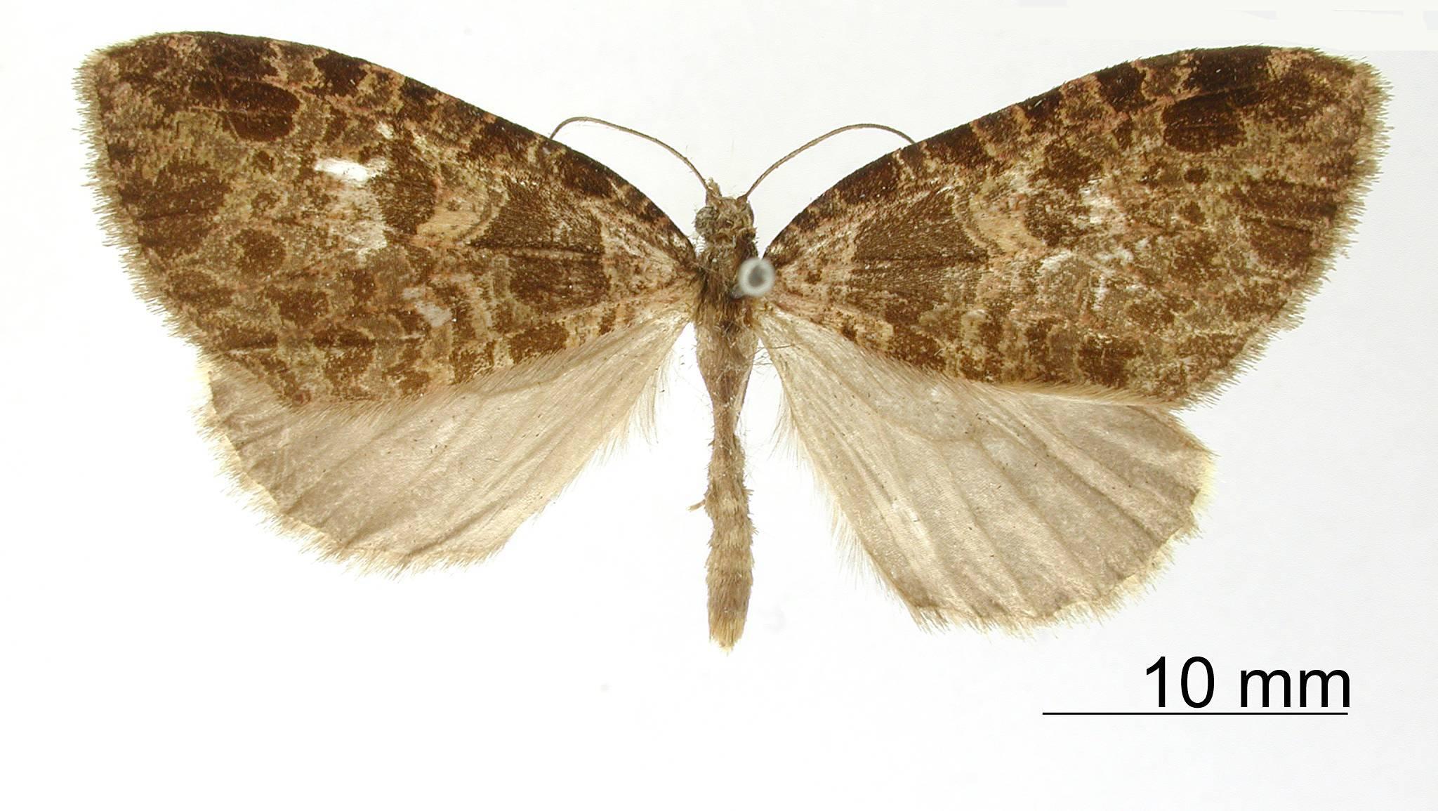 Image of <i>Erebochlora fusimacula</i> Dognin 1911