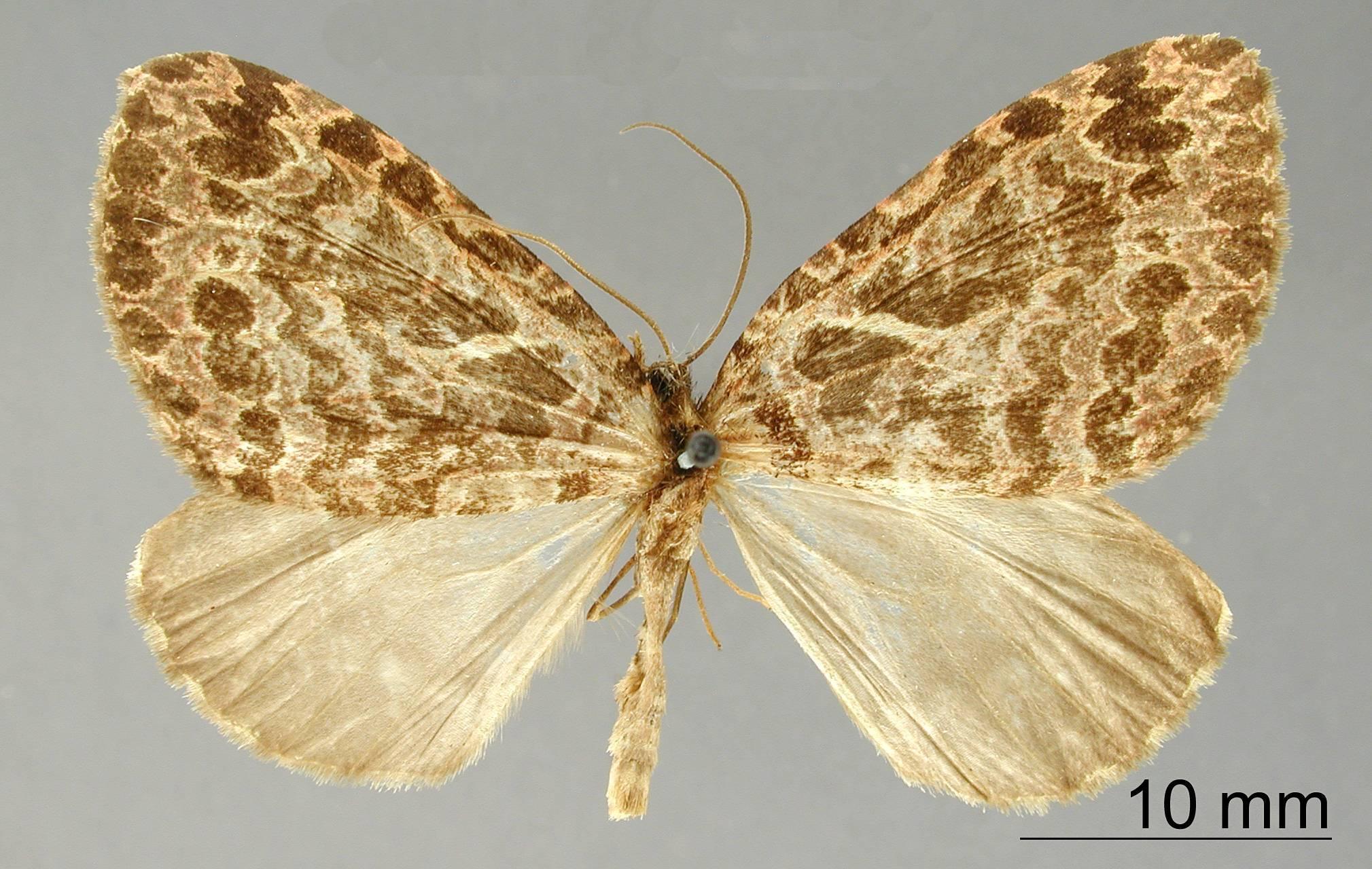 Image of <i>Erebochlora internexa</i> Dognin 1913