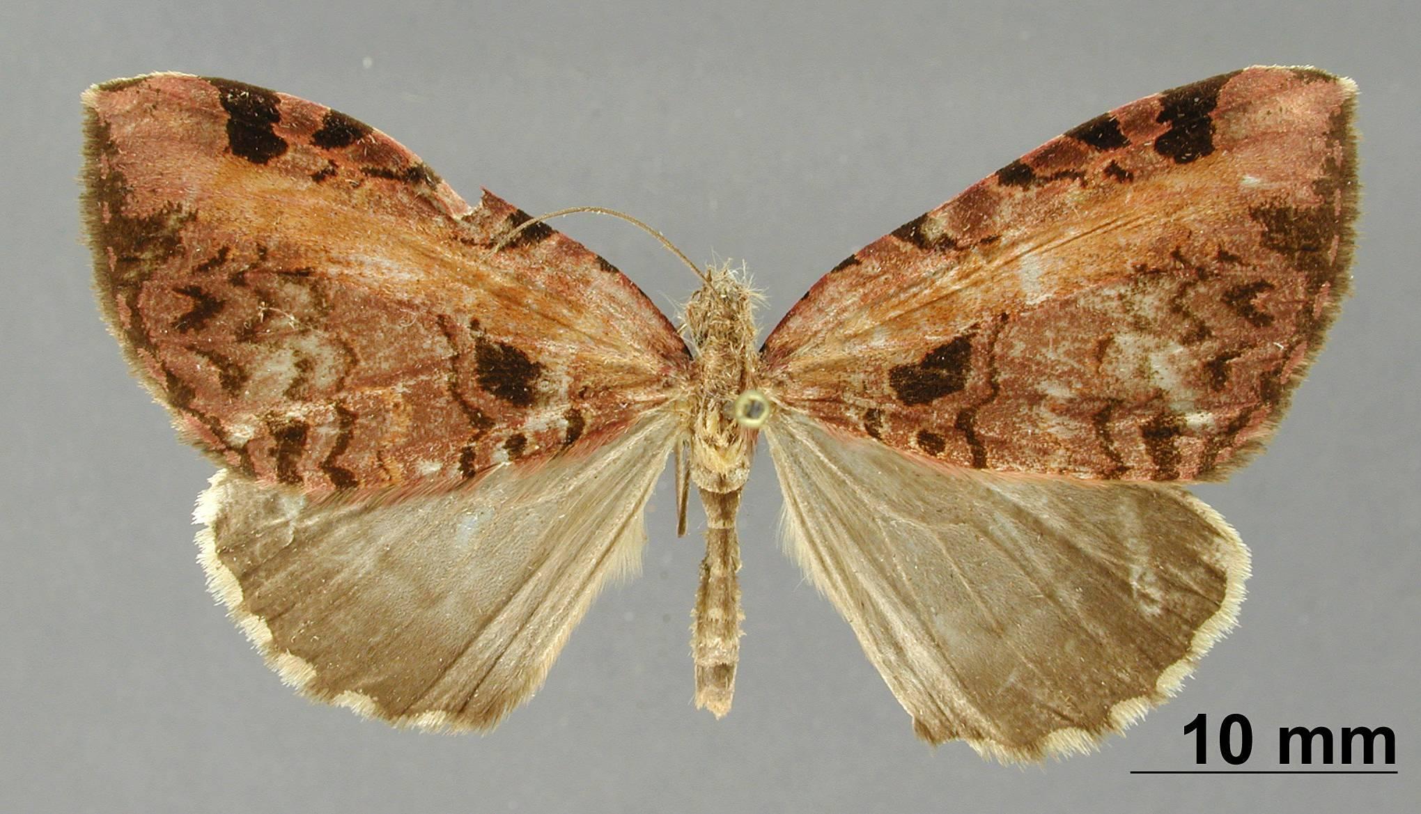 Image of <i>Erebochlora magnifascia</i> Dognin 1912