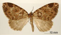 Image of <i>Erebochlora regularis</i> Dognin 1911