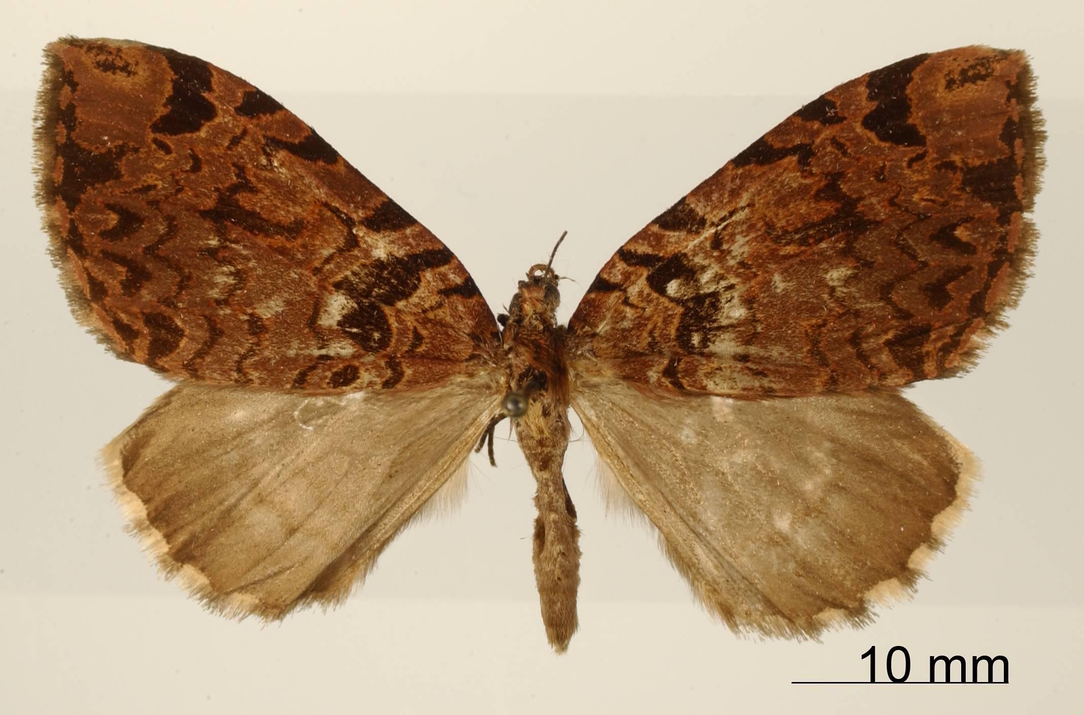 Image of <i>Erebochlora roseofasciata</i> Dognin 1911