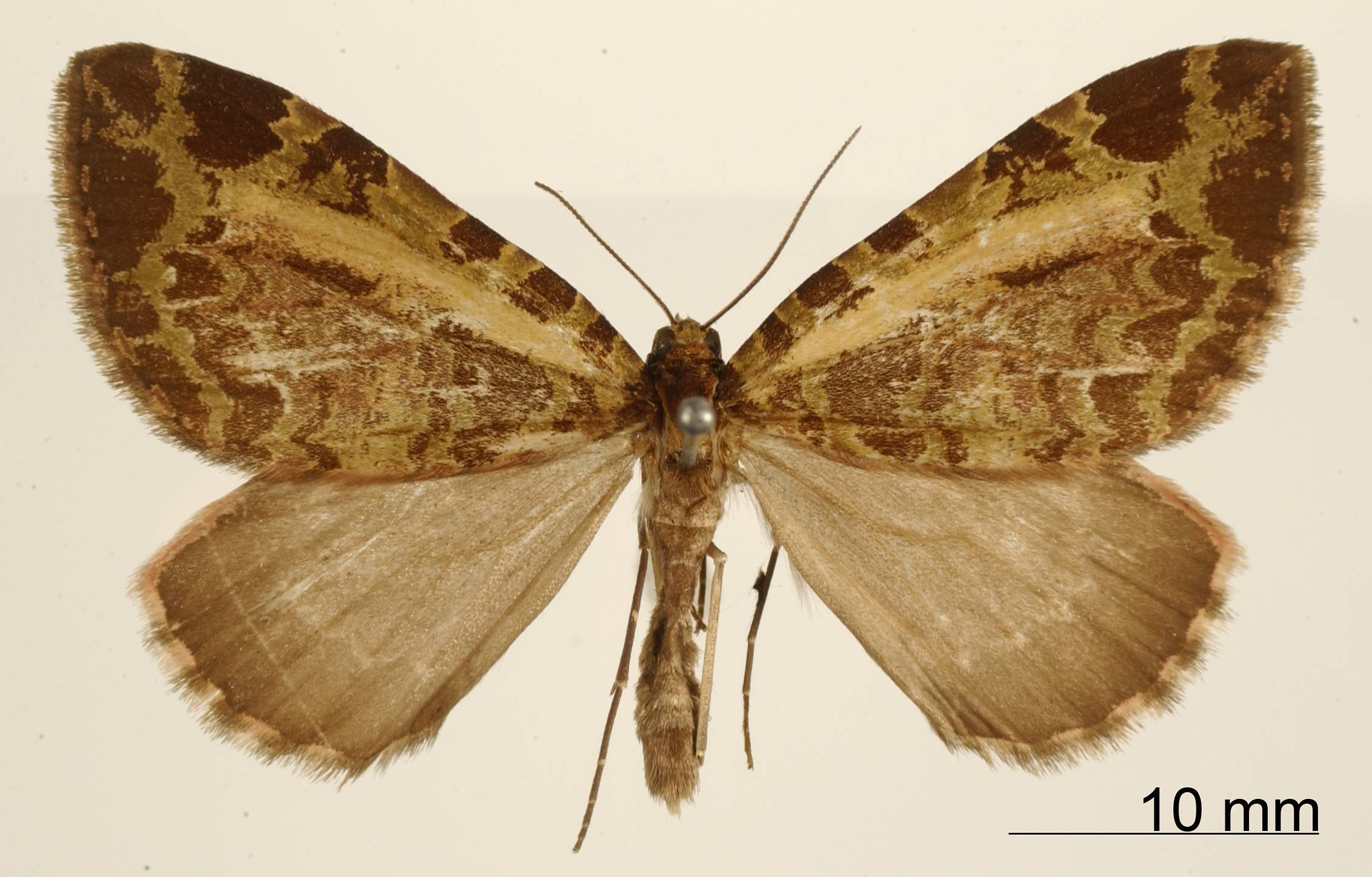 Image of <i>Erebochlora schausi</i> Thierry-Mieg 1907