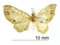 Image of <i>Eupithecia batida</i> Dognin 1899