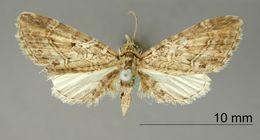 Image of <i>Eupithecia hombrilla</i> Dognin 1899