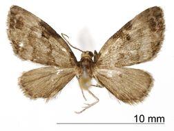 Image of <i>Eupithecia petrohue</i> Rindge