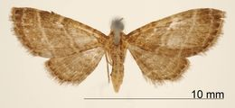 Image of <i>Eupithecia rectilinea</i> Schaus 1913