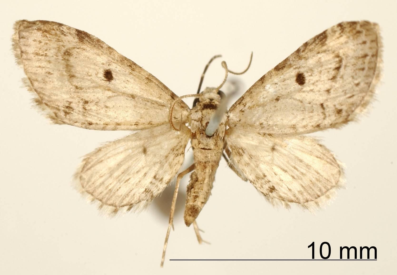 Image of <i>Eupithecia veleta</i> Dognin 1899