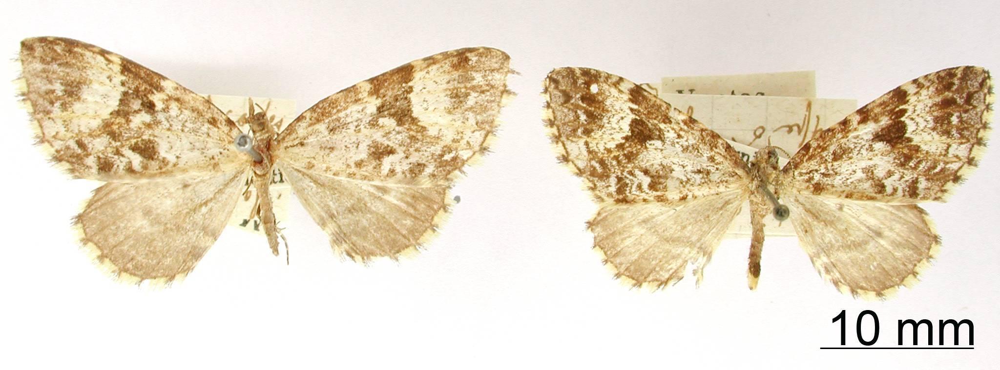 Image of <i>Isodiscodes albicurvata</i> Dognin