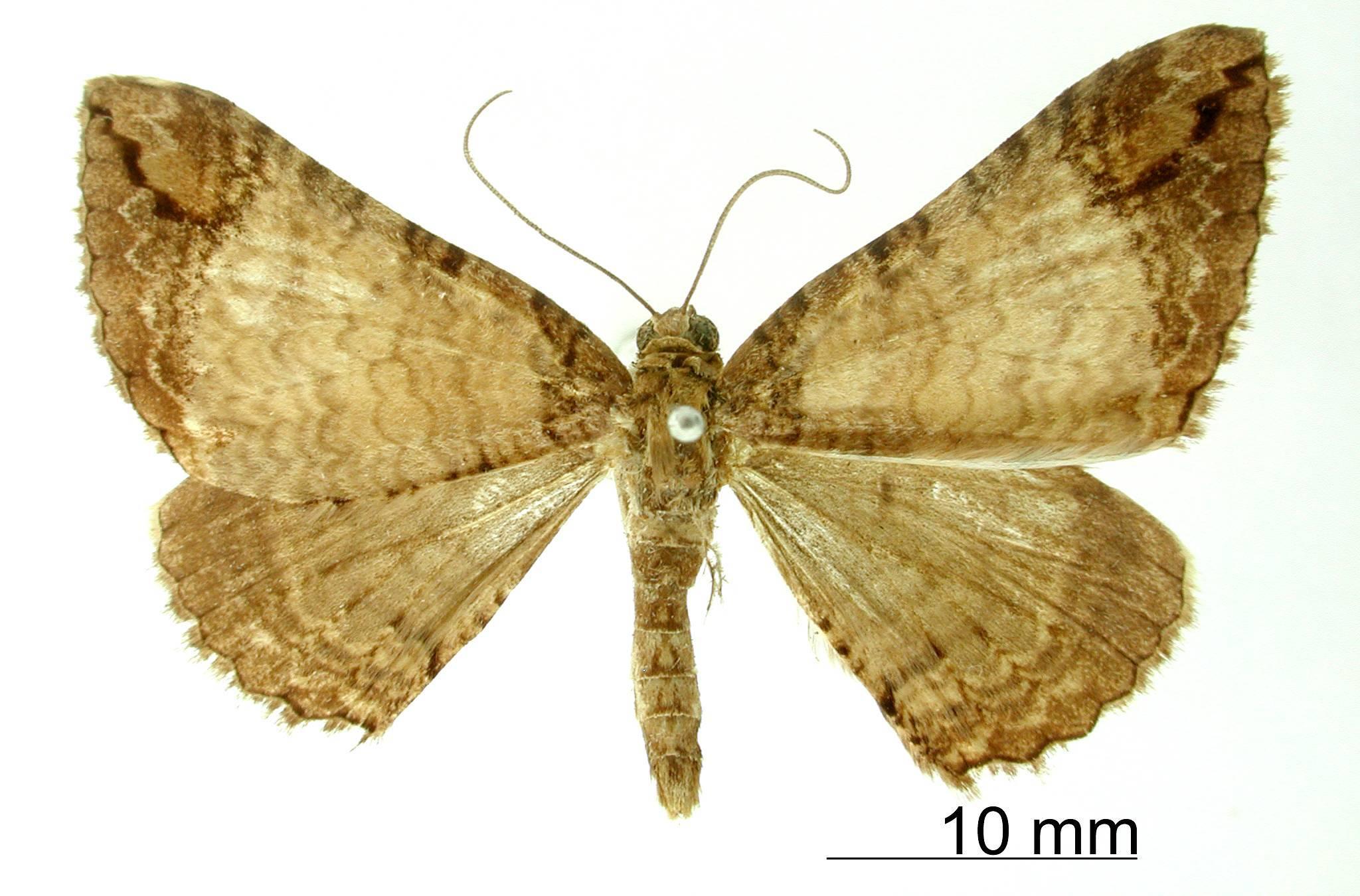 Image of <i>Pterocypha chama</i> Schaus