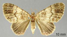 Image of <i>Pterocypha juanaria</i> Schaus