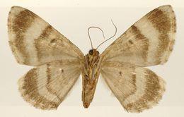 Image of <i>Pterocypha rufomarginata</i> Schaus