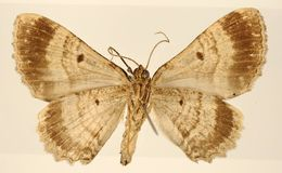Image of <i>Pterocypha tabascana</i> Schaus