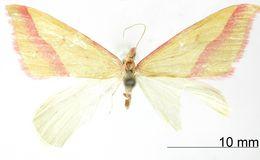 Image of <i>Rhodometra angasmarcata</i> Dognin 1917