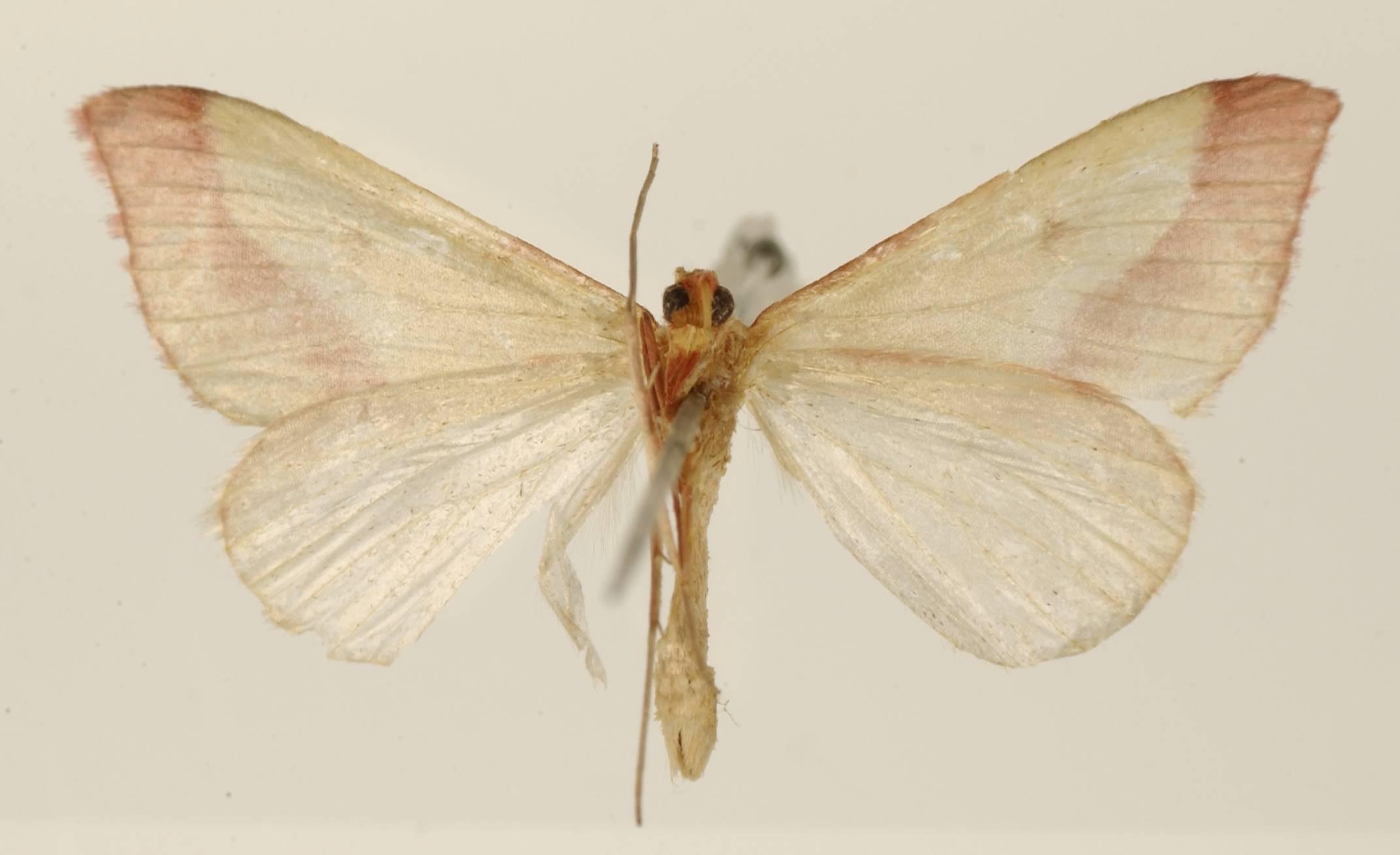 Image of <i>Rhodometra roseata</i> Dognin 1917
