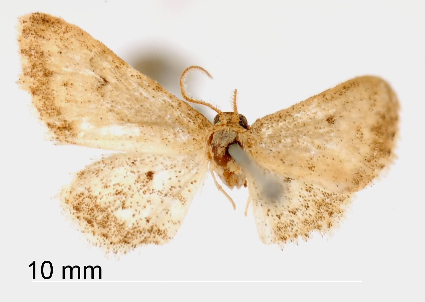 Image of <i>Lobocleta griseolimbata</i> Prout 1922