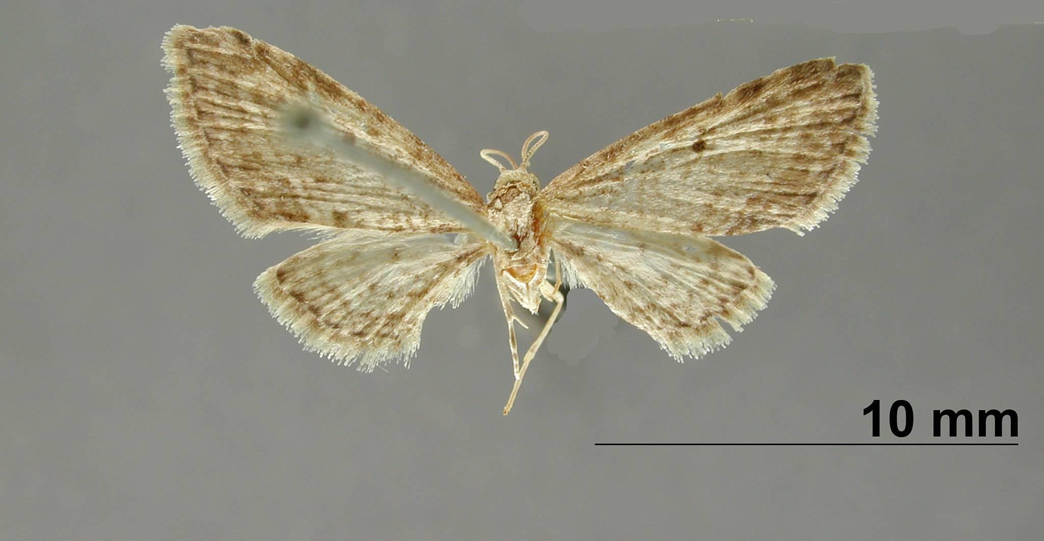 Image of <i>Eupithecia mejala</i> Dognin 1895