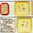 Image of <i>Rhopalosiphum sanguinarium</i> Baker & J. M. 1934