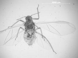 Image of <i>Cinara</i> (<i>Cupressobium</i>) <i>louisianensis</i> Boudreaux 1949