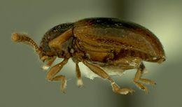 Image of <i>Stenotarsus politus</i> Strohecker 1958