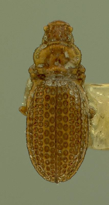 Image of <i>Metophthalmus septemstriatus</i> Hatch 1962
