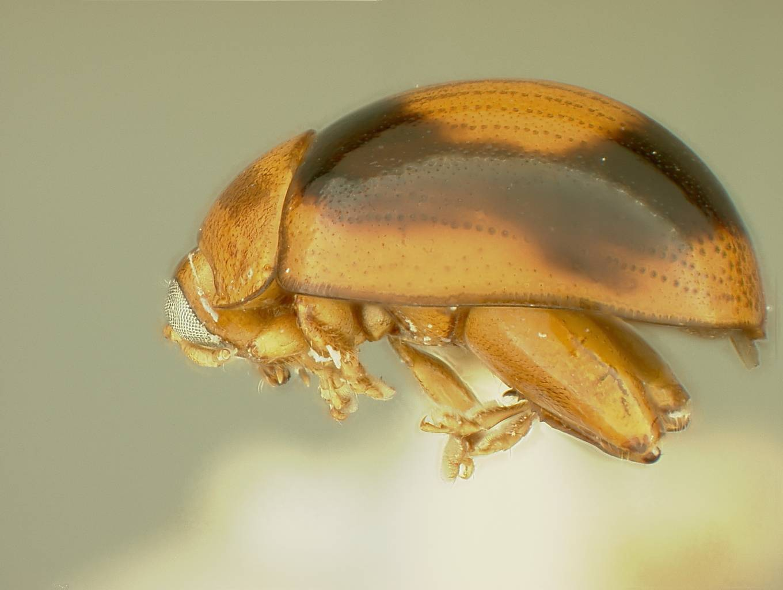 Image of <i>Argopistes coronatus</i> Blake