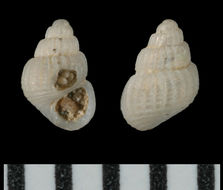Image of <i>Alvania electa</i> (Monterosato 1874)