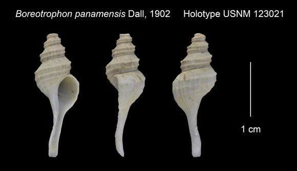 Image of <i>Abyssotrophon panamensis</i> (Dall 1902)