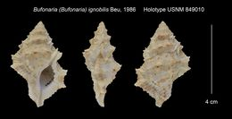 Image of <i><i>Bufonaria</i></i> (Bufonaria) <i>ignobilis</i> Beu 1986