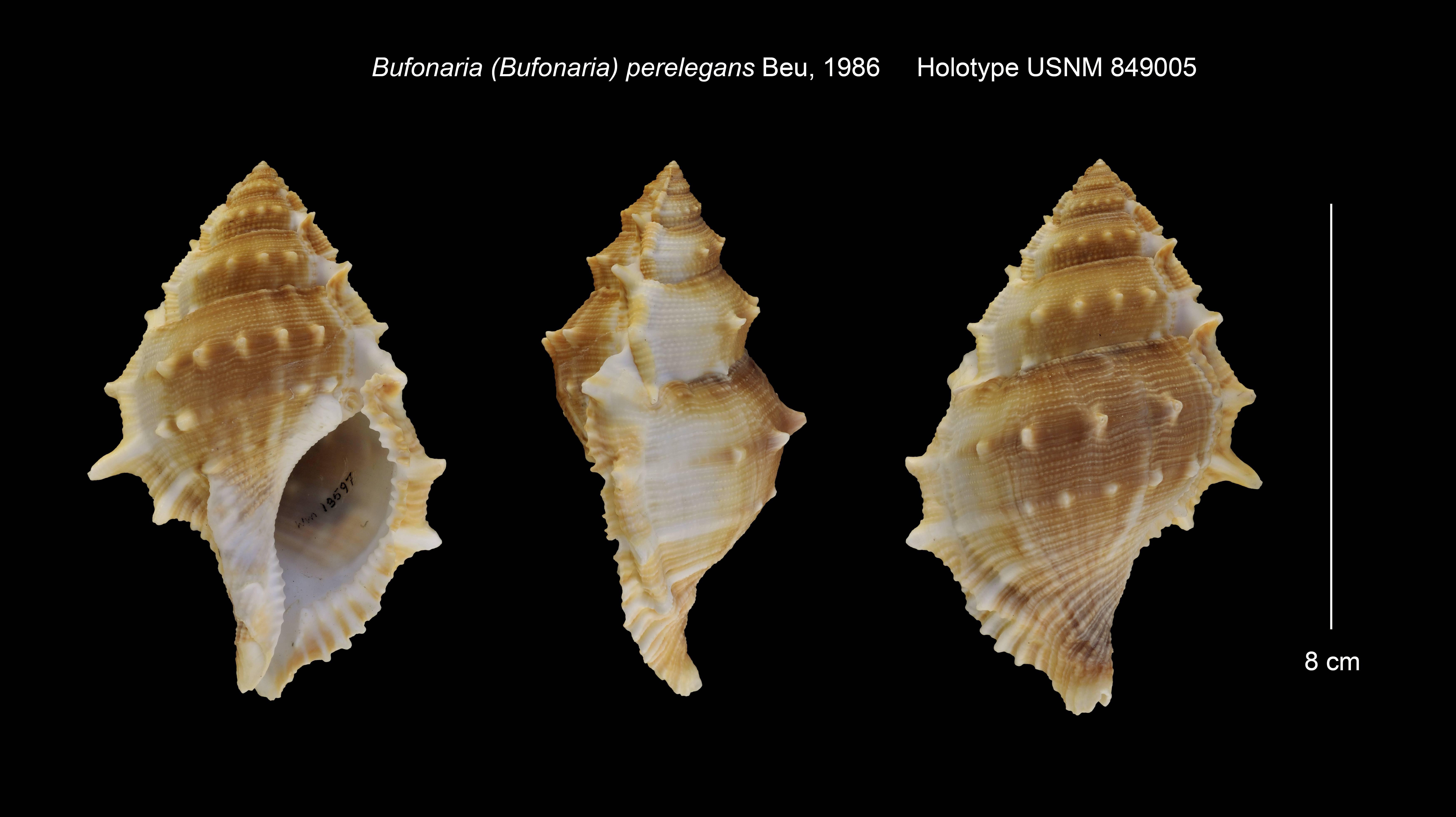 Image of <i>Bufonaria perelegans</i> Beu 1987