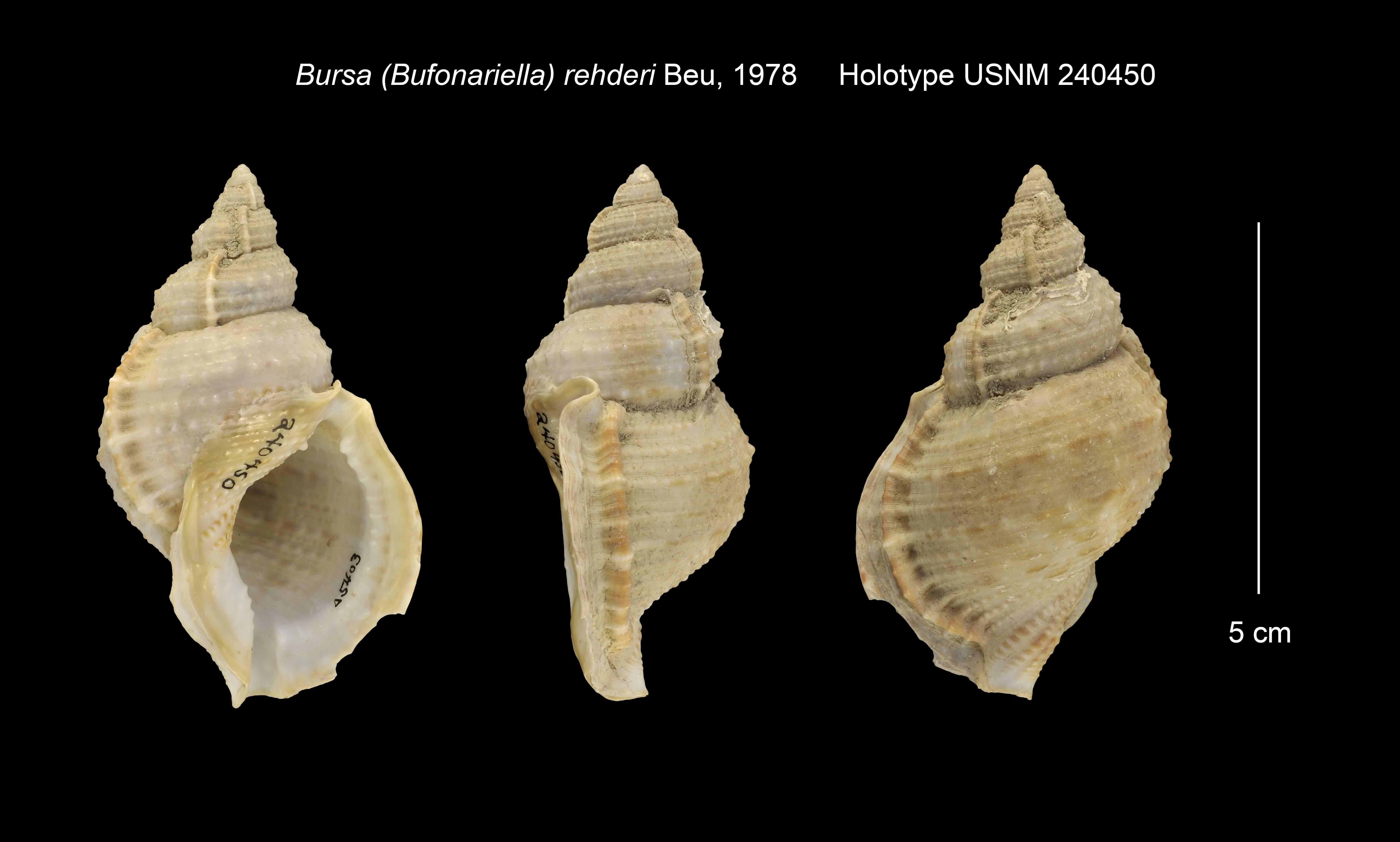Image of <i>Bursa awatii</i> Ray 1949
