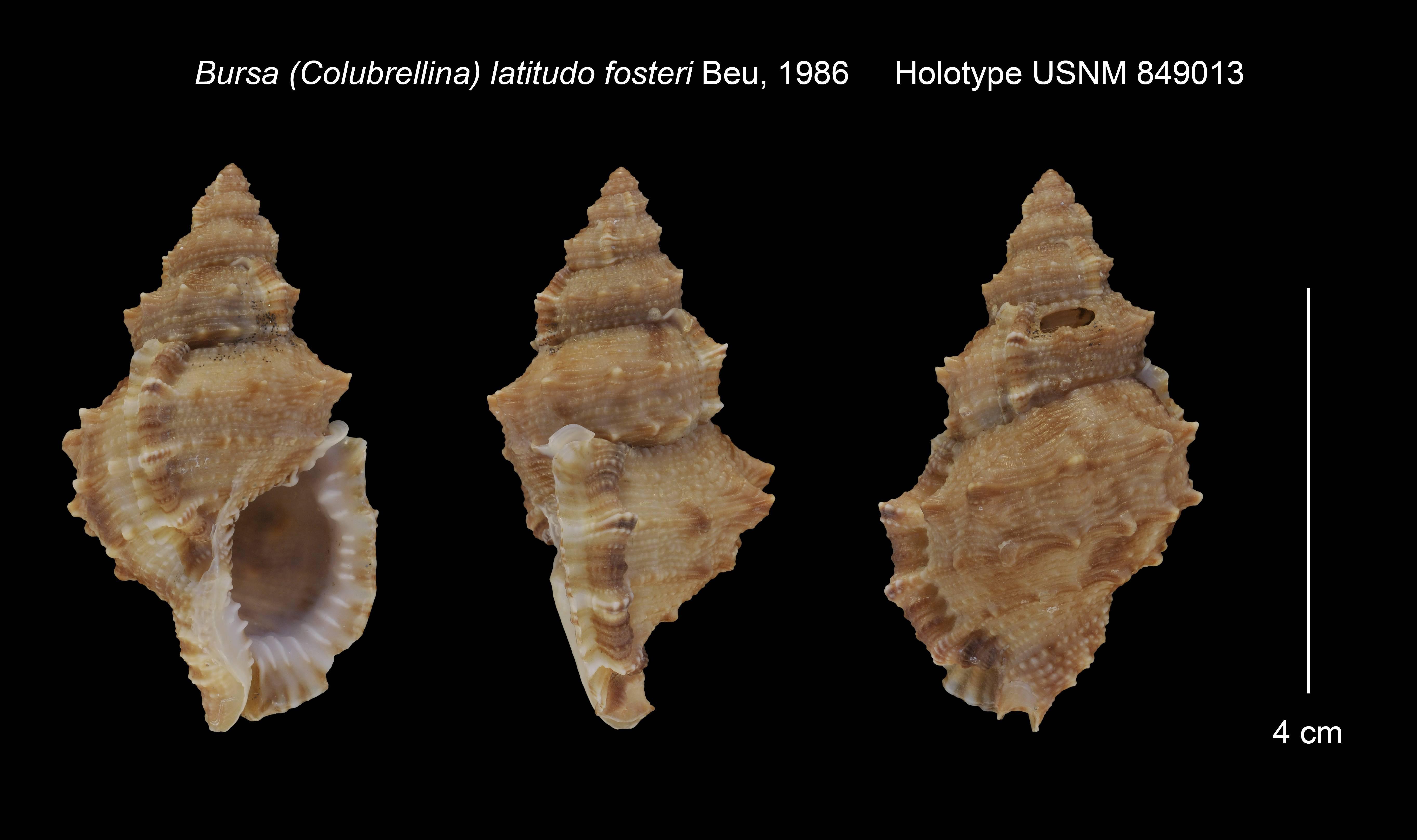 Image of <i>Bursa</i> (<i>Colubrellina</i>) <i>latitudo fosteri</i> Beu 1986