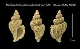 Image of <i>Coralliophila kincaidi</i> Dall