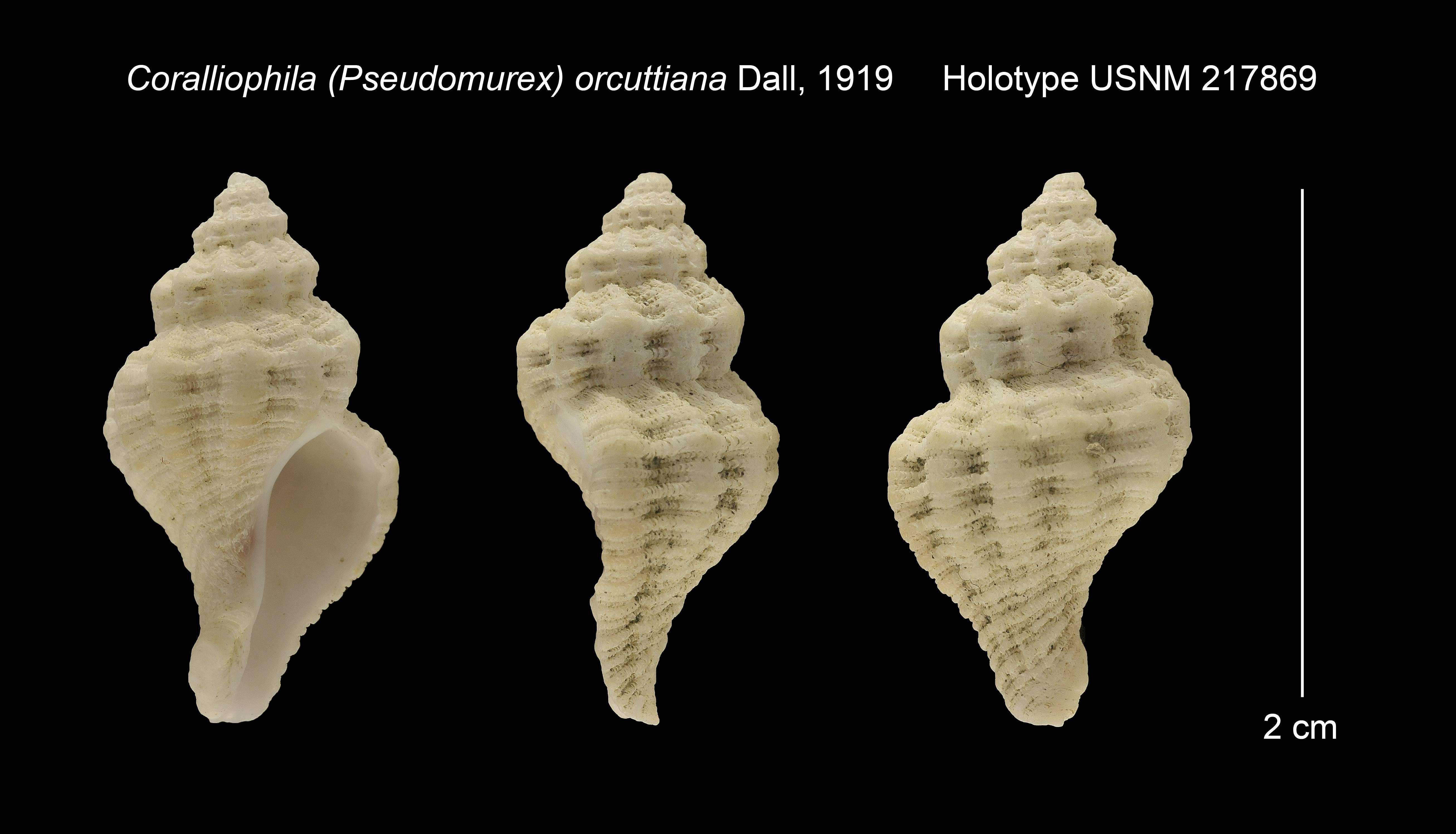 Image of <i>Coralliophila orcuttiana</i> Dall 1919