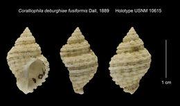 Image of <i>Coralliophila deburghiae</i> ssp. <i>fusiformis</i> Dall