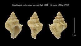 Image of <i>Coralliophila deburghiae</i> ssp. <i>spinosa</i> Wood