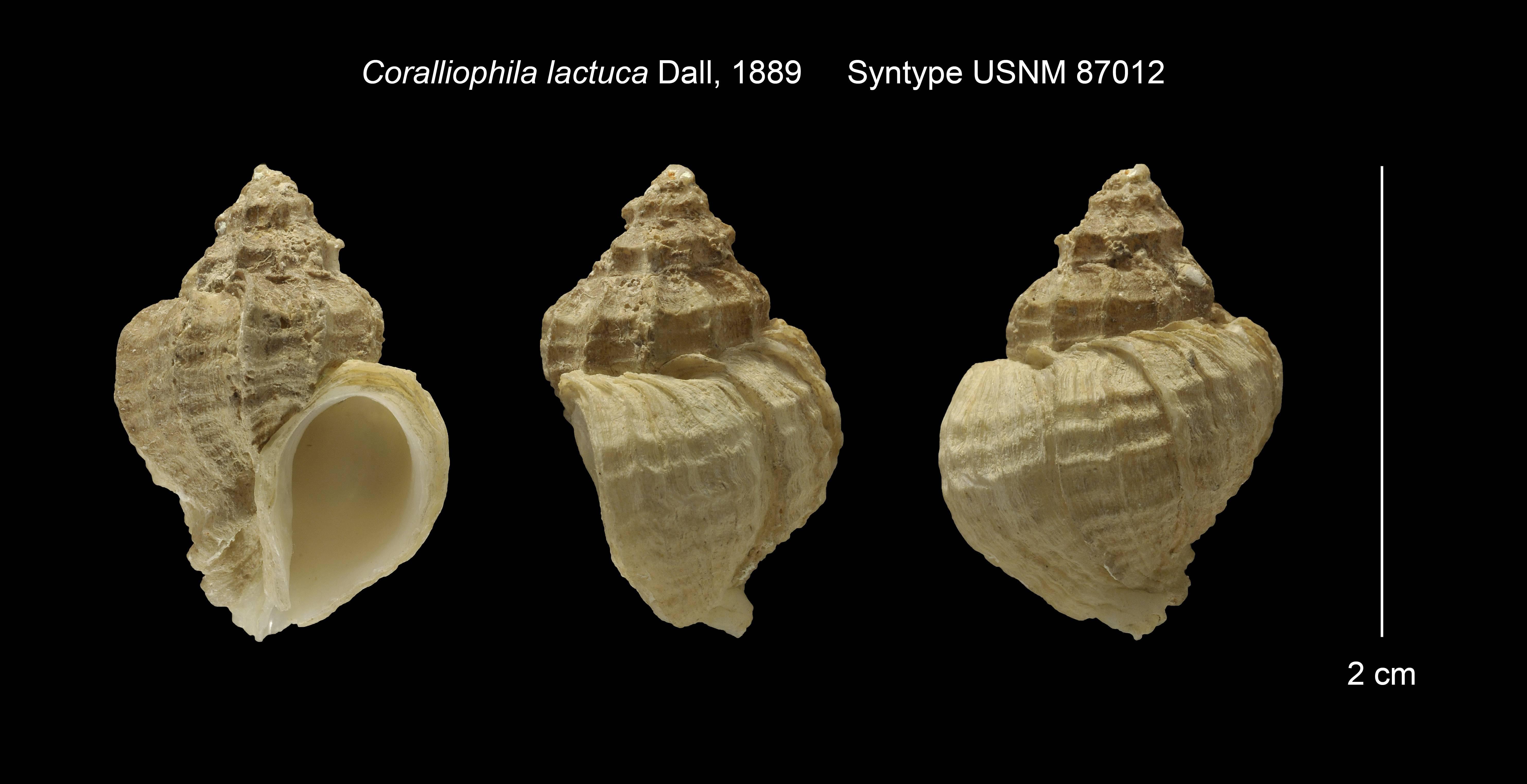 Image of <i>Coralliophila richardi</i> (P. Fischer 1882)