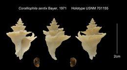 Image of <i>Coralliophila sentix</i> Bayer 1971
