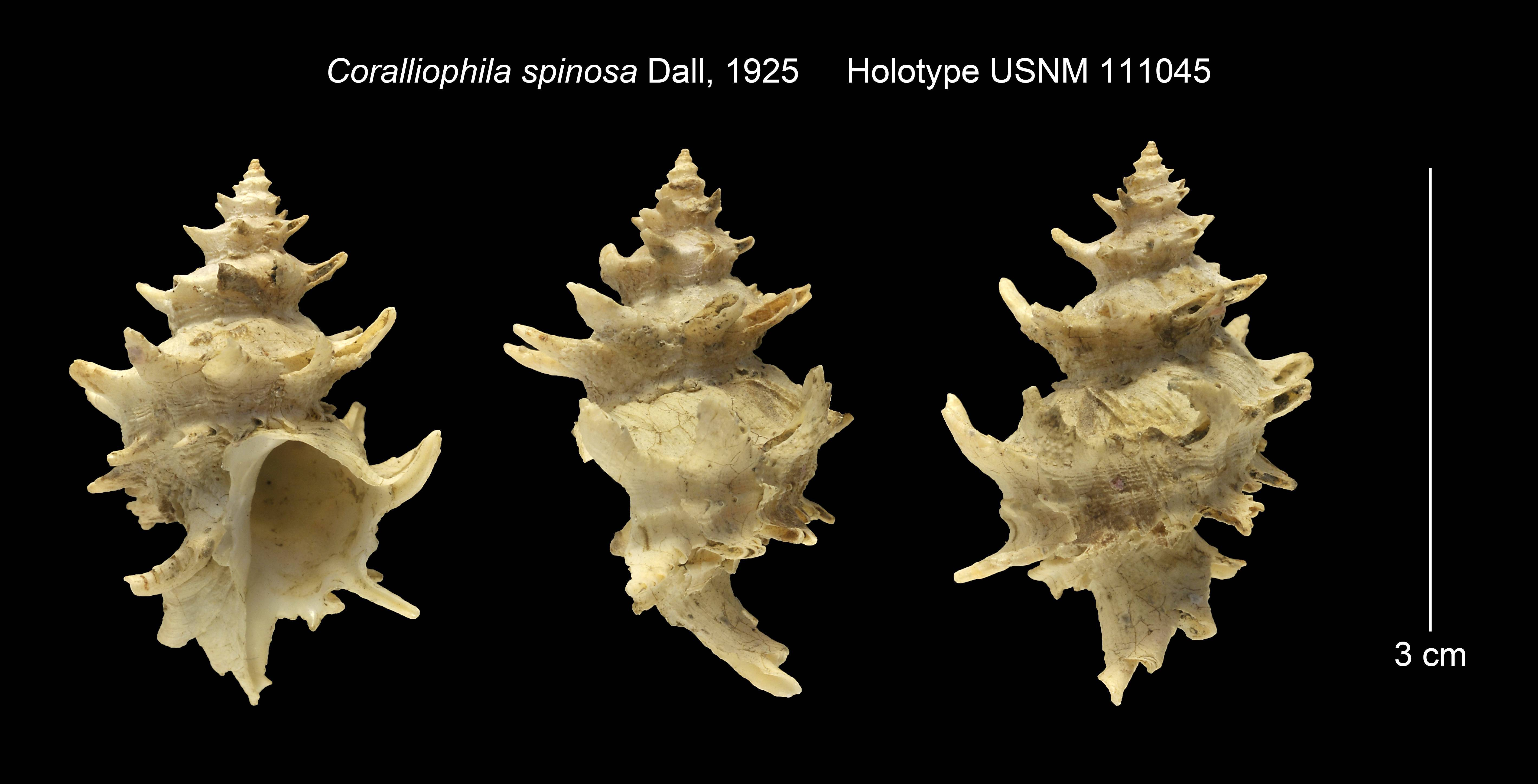 Image of <i>Coralliophila spinosa</i> Dall 1925