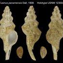 Image of <i>Fusinus panamensis</i> Dall 1908