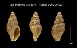 Image of <i>Lora chiachiana</i> Dall