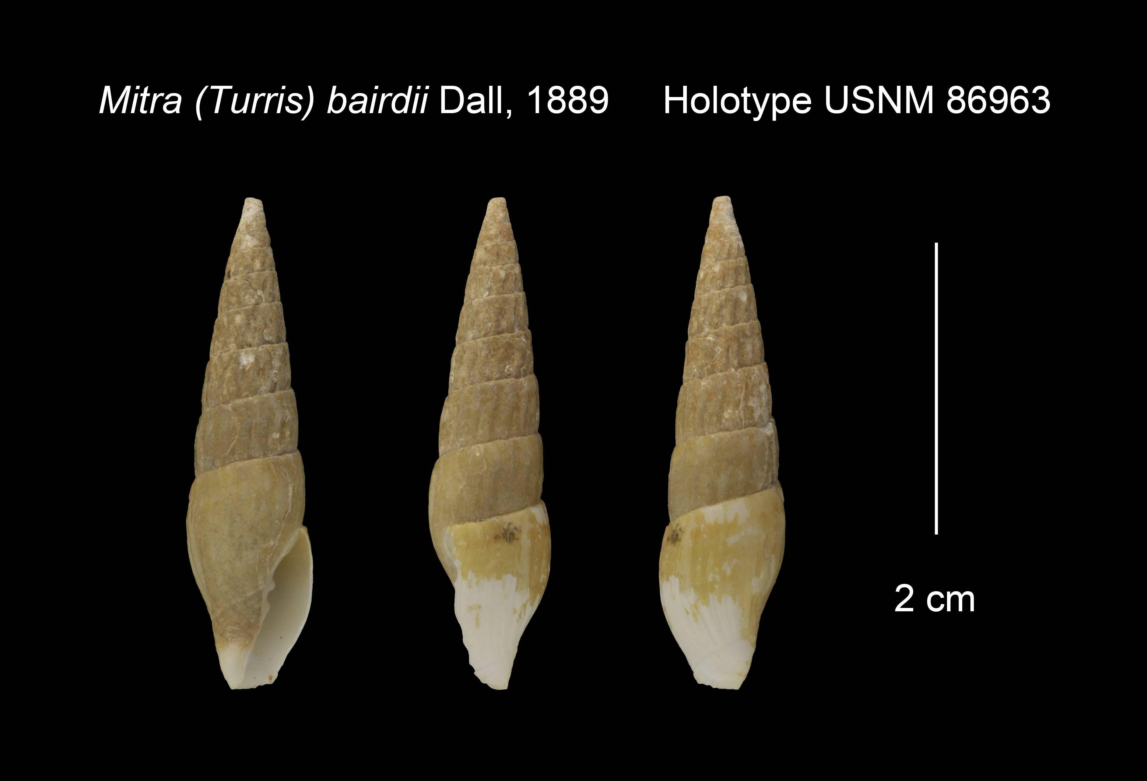 Image of <i>Volutomitra bairdii</i> (Dall 1889)
