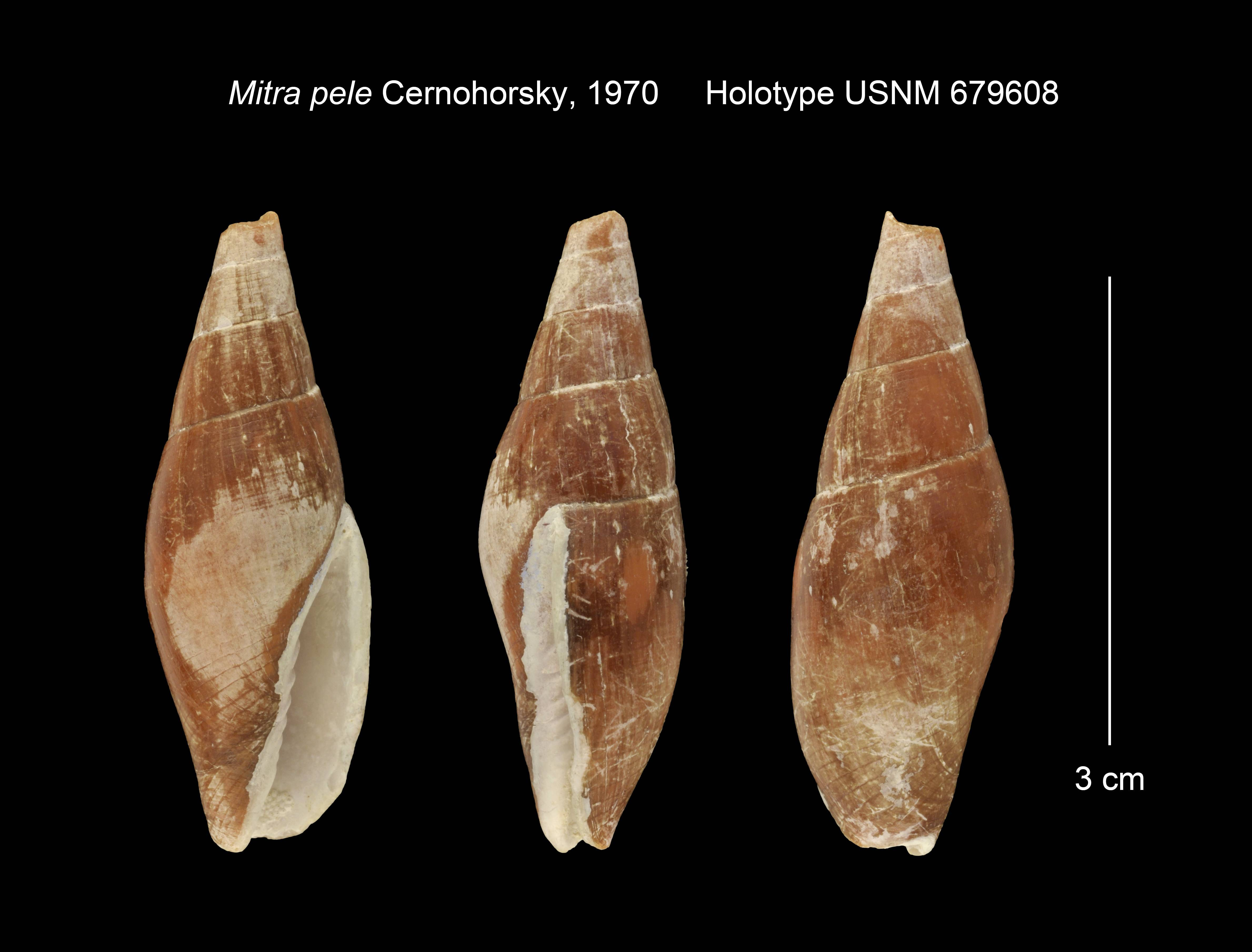 Image of <i>Mitra pele</i> Cernohorsky 1970