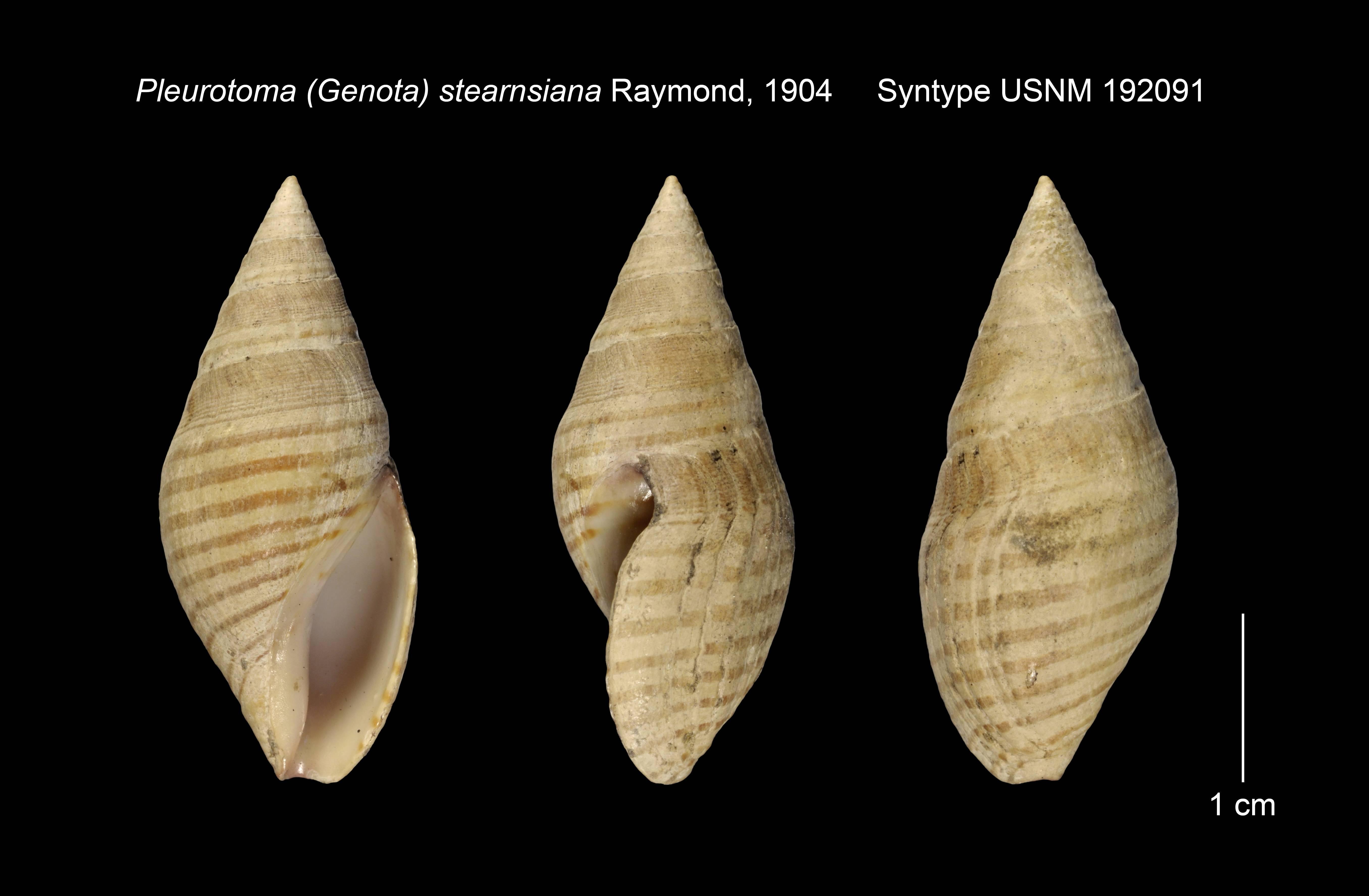 Image of <i>Pleurotoma</i> (<i>Genota</i>) <i>stearnsiana</i> Raymond 1904